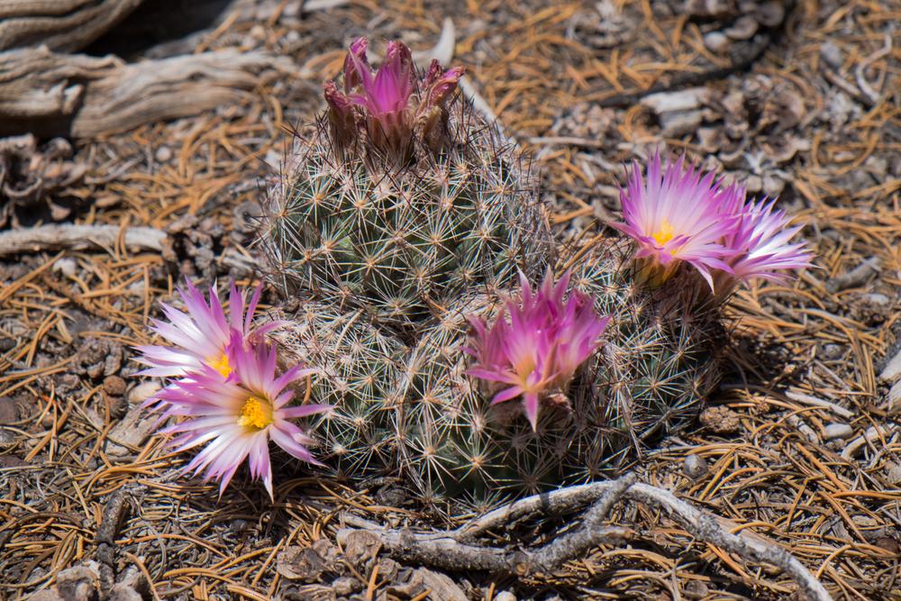 Common Beehive Cactus