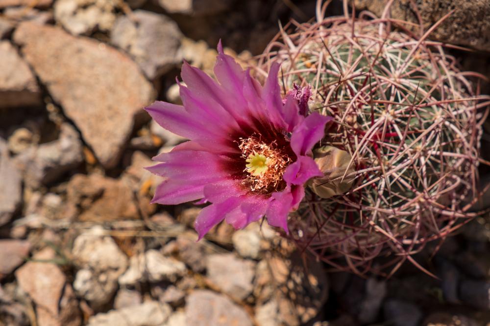 Engelmann's Hedgehog Cactus - Stonetree