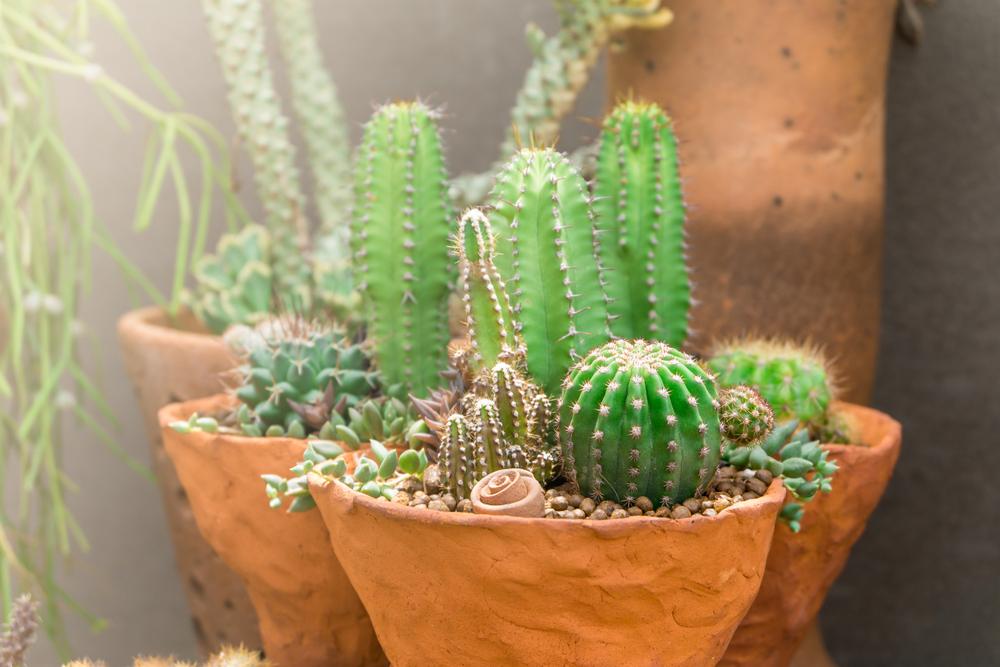 Acanthocereus Tetragonus Plant